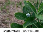 A Common Milkweed Plant With A...