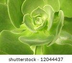 Aeonium Virgineum Webb  ...