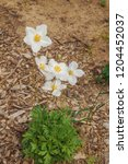 snowdrop anemone  anemone...   Shutterstock . vector #1204452037