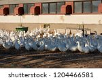 a view of a goose farm with a... | Shutterstock . vector #1204466581