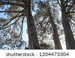 three old firs in park ... | Shutterstock . vector #1204473304