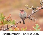 house finch perched beautifully ... | Shutterstock . vector #1204552087