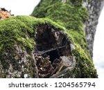 hollow. old tree. moss texture. ... | Shutterstock . vector #1204565794
