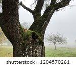 old tree. foggy morning. garden.... | Shutterstock . vector #1204570261