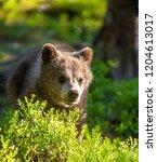 brown bear cub in the summer... | Shutterstock . vector #1204613017