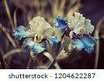 flowers irises in the garden ... | Shutterstock . vector #1204622287