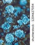 blue roses in the garden ... | Shutterstock . vector #1204627054