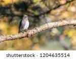 cedar waxwing in a tree | Shutterstock . vector #1204635514