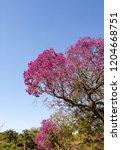 Handroanthus Heptaphyllus ...