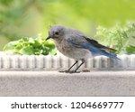 mountain bluebird  female  | Shutterstock . vector #1204669777