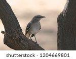 northern mockingbird  mimus... | Shutterstock . vector #1204669801