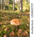 wild mushrooms in pine forest. | Shutterstock . vector #1204820737