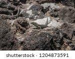grey patterned lizard... | Shutterstock . vector #1204873591