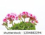 Pink Geranium Flowers On A...