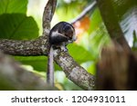cream coloured giant squirrel ... | Shutterstock . vector #1204931011