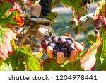 female winemaker is cutting...   Shutterstock . vector #1204978441