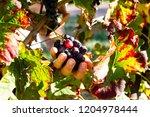 female winemaker is cutting...   Shutterstock . vector #1204978444
