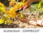 female winemaker is cutting...   Shutterstock . vector #1204981237