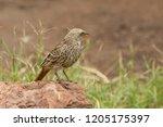 weaver bird in the serengeti... | Shutterstock . vector #1205175397