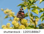 flowers of an ivy with a... | Shutterstock . vector #1205188867