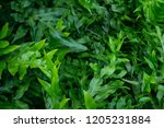 top view of green leaves of... | Shutterstock . vector #1205231884