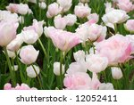 Garden of beautiful pastel double tulips in full bloom.  Selective focus on the center tulip. - stock photo