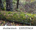 Mossy Tree Trunk In Autumn...