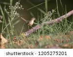 the beautiful prinia is looking ... | Shutterstock . vector #1205275201