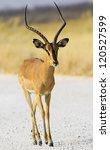 Small photo of Black faced impala Aepyceros melampus petersi