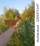 Small photo of chicken pullet roosting. a bird in the hand