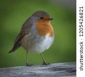 winter robin looking for crumbs ... | Shutterstock . vector #1205426821