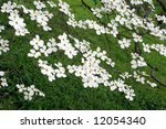 Low hanging branches of a mature white dogwood tree in full bloom.  Grassy meadow in soft focus as the background. - stock photo