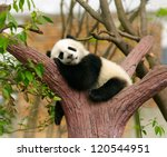 Stock photo sleeping giant panda baby 120544951