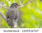 close up of a rufous bellied... | Shutterstock . vector #1205516767