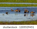black bellied whistling ducks... | Shutterstock . vector #1205529451