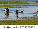 black bellied whistling ducks... | Shutterstock . vector #1205529481
