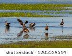 black bellied whistling ducks... | Shutterstock . vector #1205529514