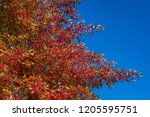 vibrant fall color  red  yellow ... | Shutterstock . vector #1205595751