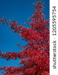 vibrant fall color in red... | Shutterstock . vector #1205595754
