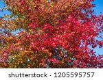 vibrant fall color  red  yellow ... | Shutterstock . vector #1205595757