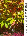 vibrant fall color as a nature... | Shutterstock . vector #1205595781