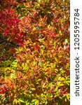 vibrant fall color as a nature... | Shutterstock . vector #1205595784