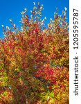 vibrant fall color  red  yellow ... | Shutterstock . vector #1205595787