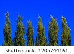 Lombardy Poplar Tree Tops...