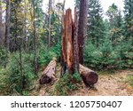 forest wilderness tree in... | Shutterstock . vector #1205750407