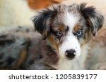 dog  miniature australian... | Shutterstock . vector #1205839177