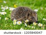 hedgehog  small  cute  native ... | Shutterstock . vector #1205840047