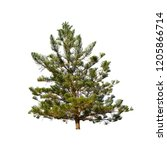 a beautiful pine with long... | Shutterstock . vector #1205866714