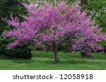 Eastern Redbud Tree In Full...
