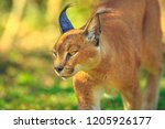 closeup of caracal  african... | Shutterstock . vector #1205926177